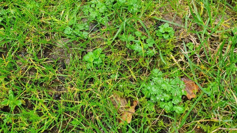 lawn-weed-control-kent